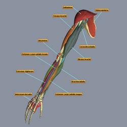 3D Muscles Teacher screen2