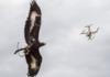 Low-tech : l'armée française dresse des aigles contre les drones