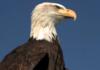 Hollande : des aigles policiers chassent les drones