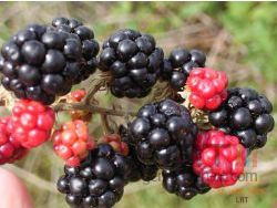 Blackberry fruit small