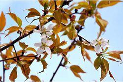 cerisier de l'espace