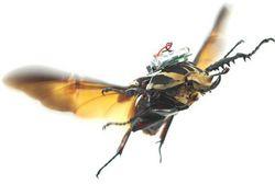 coléoptère drone
