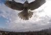 Faucon 1 - Drone 0 : un rapace s'attaque à un quadrirotor en plein vol