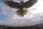 Faucon-drone