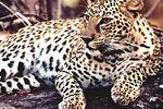 leopard-inde