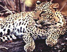 Leopard inde