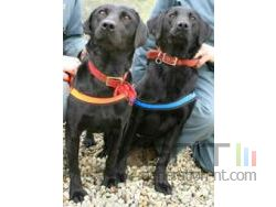 Lucy flo labrador antipirates small