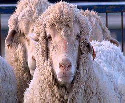 mouton mi animal mi homme génétique