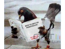 Pigeon small