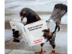 pigeon (Small)