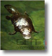 Platypus animal