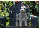 Schnauzer terrier small
