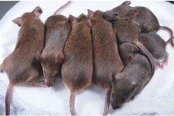 souris clonées