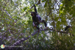 Street-View-chimpanze