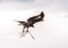 Low-tech : les aigles déçoivent face aux drones