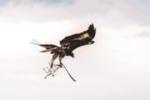 aigle-drone