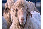 mouton mi animal mi homme génétique (Small)