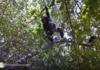 Street View rend visite aux chimpanzés